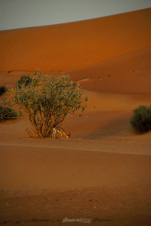 Arabian Gazelle (Gazella gazella cora) at dusk in the Dubai Desert Conservation Reserve, United Arab Emirates.