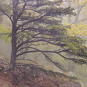&quot;Pine Tree in Fog&quot;<br /> <br /> Beautiful forest of pine trees shrouded in fog along Skyline Drive in Shenandoah National Park!!<br /> <br /> The Blue Ridge Mountains by Rachel Cohen