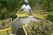 Harvesting Chardonnay, Celilo vineyard, Columbia River Gorge