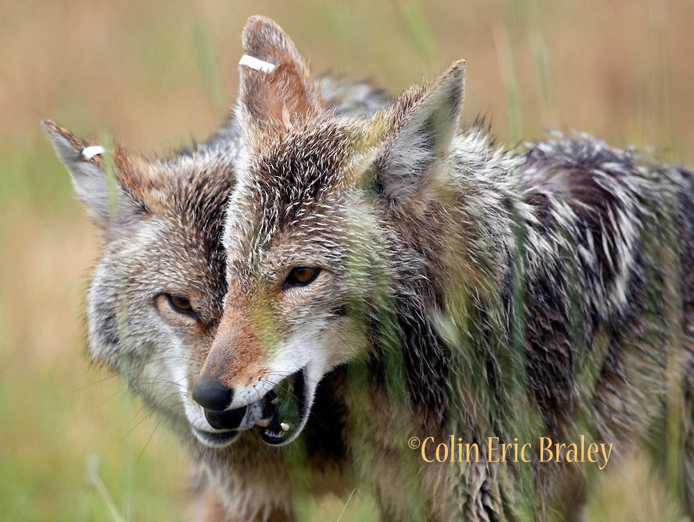 a look at the coyote or canis latrans The coyote (canis latrans) is found across north america which makes it a specialist species was asked by shelly notetaker on may 31 2017 580 students have viewed the answer on studysoup.