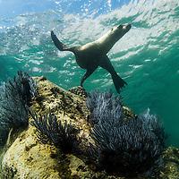 Mexico, Baja del Sur, Underwater view of California Sea Lion (Zalophus californianus) swimming in shallows near Los Islotes in Espiritu Santo Biosphere Reserve in Sea of Cortez