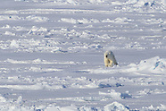 07: ICEBREAKER POLAR BEARS, WALRUSES