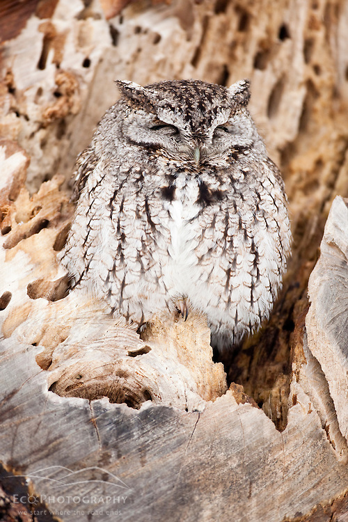 Eastern Screech Owl, Megascops asio, in Rye, New Hampshire. Gray phase.  Winter. Odiorne Point State Park.