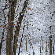 A Missouri forest during a spring snow.