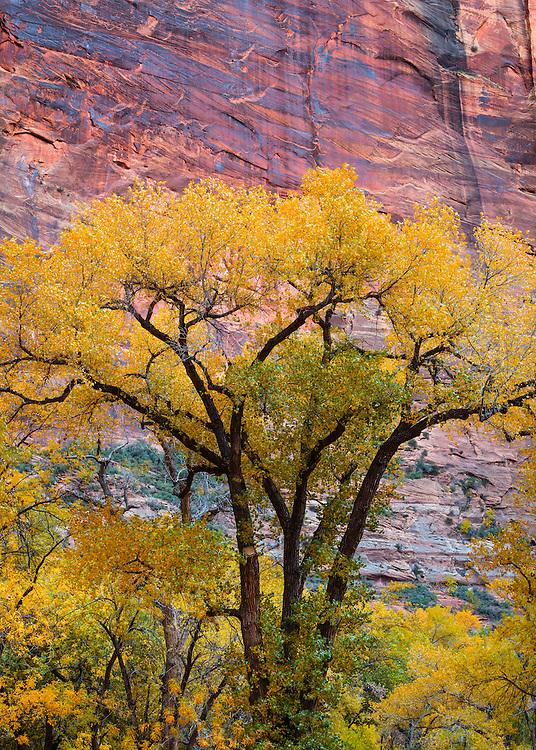 Fremont Cottonwood tree. Zion National Park in Utah.