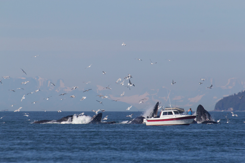 A small private boat gets a close view of the humpback whales (Megaptera Novaeangliae) bubblenet feeding near juneau.