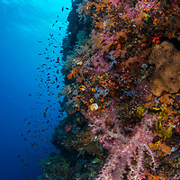 Reef scene with soft coral, Maumere, Flores, Indonesia.