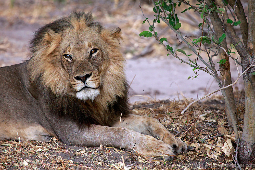 Africa, Botswana, Savute. Male lion of Savute in Chobe National Park.