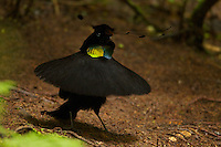Wahnes' Parotia (Parotia wahnesi).Adult male performs ballerina display