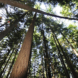Second-Growth Forest Tree Canopy, Central Cascades, Washington, US