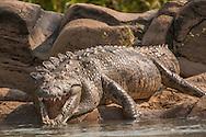 Crocodile, Crocodylus niloticus, on bank of Kunene river, Kaokoland, Namibia