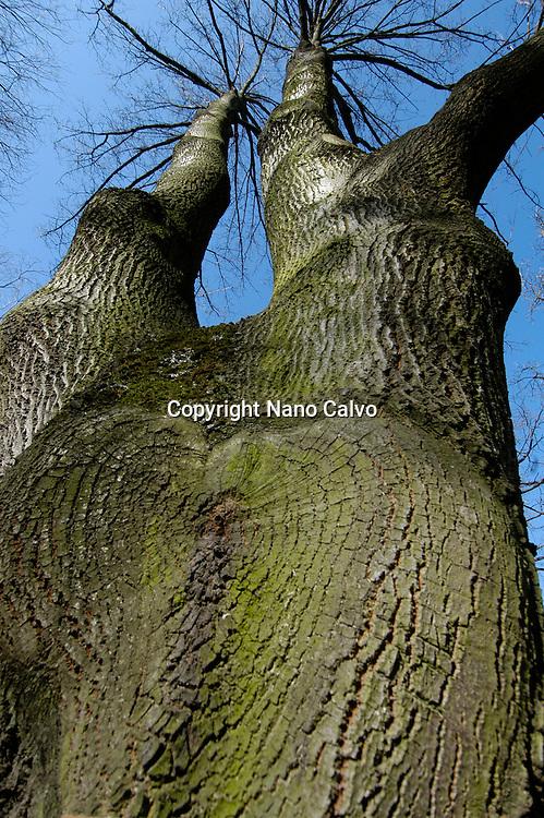 Quercus Cerris, Turkey Oak, Roble de Turquia, Jardine Botanique, Geneva, Switzerland