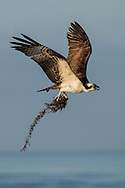 Osprey build their nest from sticks, bark, grass, vines, seaweed and other available materials.  The male osprey normally fetches the building material, while the female waits patiently at the nest to receive it.