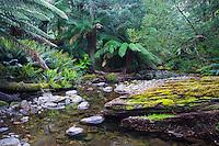 Stream flowing through a lush temperate rainforest, Tasmania, Australia