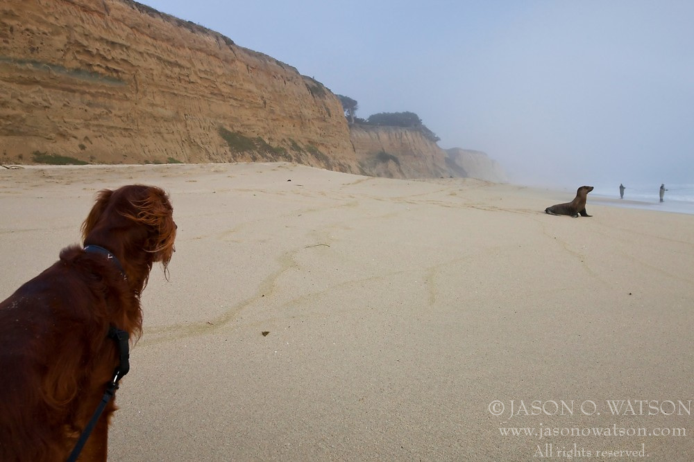 Sherlock, and Irish Setter stalks a California Sea Lion (Zalophus californianus) at Poplar Beach (Bluff Top Coastal Park) near Half Moon Bay, California.