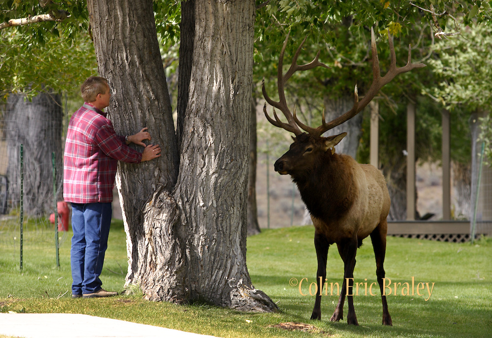 e-tourist attacked by elk in Yellowstone | COLIN E BRALEY PHOTOGRAPHY