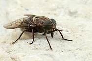 Horse Fly (Tabanus mixus)<br /> United States: Alabama: Tuscaloosa Co.<br /> Tulip Tree Springs off Echola Rd.; Elrod<br /> 7-Jun-2016<br /> J.C. Abbott #2827 &amp; K.K. Abbott
