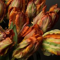 Studio still life of Parrot tulips