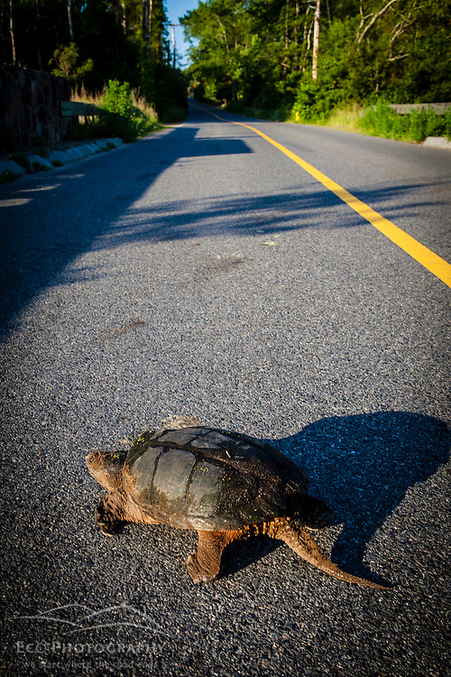A snapping turtle crosses a road in Plymouth, Massachusetts.