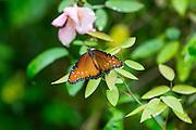 Antique Rose Emporium, Independence, Texas, Summer