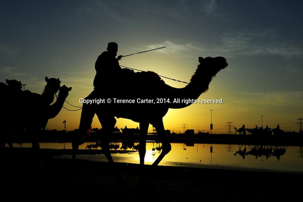 Camel wrangler, Dubai, UAE. Copyright 2014 Terence Carter / Grantourismo. All Rights Reserved.