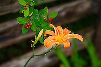 Orange lilies growing adjacent to a weathered old fence near the Bonnechere river in the Ottawa Valley.<br /> <br /> &copy;2015, Sean Phillips<br /> http://www.RiverwoodPhotography.com