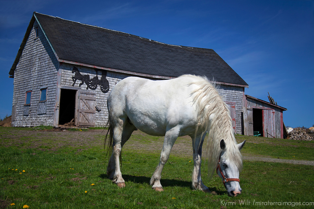 Canada, Nova Scotia, Guysborough County. Horse and weathered barn of Nova Scotia.