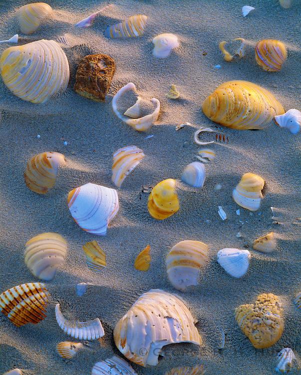 0505-1054 ~ Copyright: George H.H. Huey ~ Bivalve shells in windblown sand.  Gulf of Mexico beach.  Padre Island National Seashore, Texas.