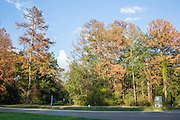 Loblolly pines hit by drought conditions until they've turned brown, The Woodlands, Texas.