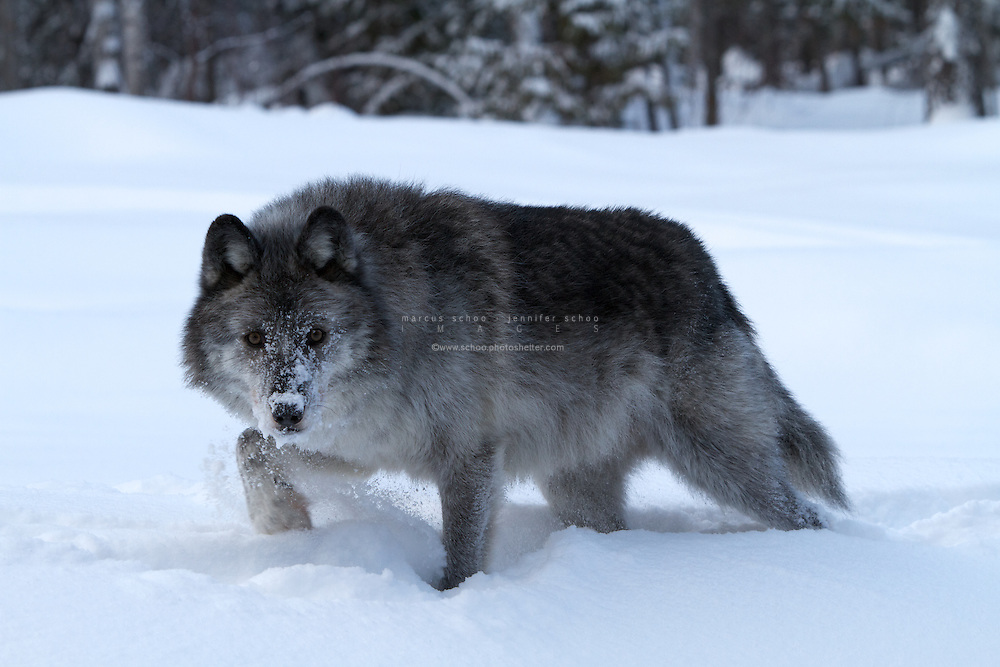 the impact of wolf eradication in yellowstone national park The history of wolves in yellowstone chronicles the extirpation,  until the wolves returned, yellowstone national park had one of the densest and most stable coyote populations in america.