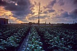 Stock photo of a view of an oil and gas rig through a cornfield in south Texas