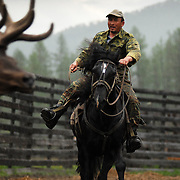 Red deer's antlers cutting in Altai mountains