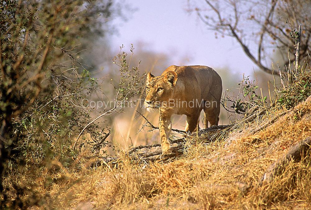 Hunting lioness. Savuti Game Reserve, Botswana.