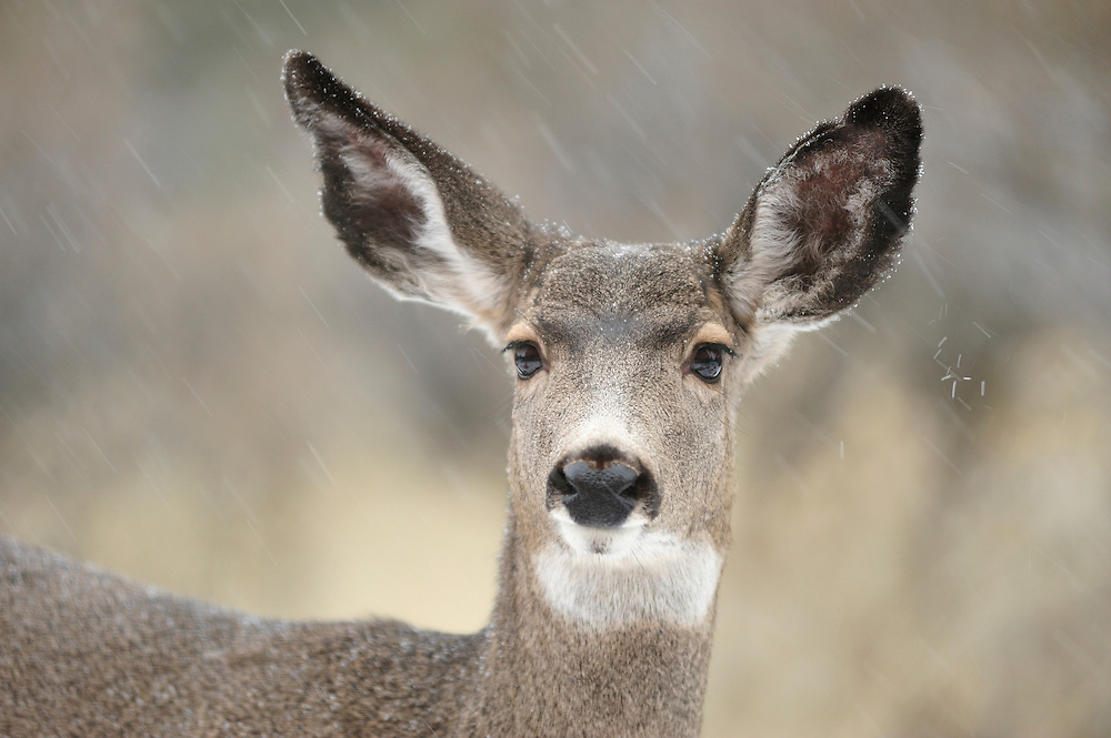 Mule Deer in Winter,Central Oregon ,Oregon,USA,..