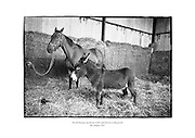 World famous racehorse Arkle with stable mate in Maynooth.<br /> <br /> 4th August 1967<br /> 04/08/1967
