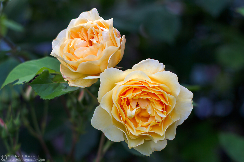 Graham Thomas - a David Austin Rose blooms in a backyard rose garden