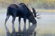 Bull Moose (Alces alces) drinks from a misty lake, Glacier National Park
