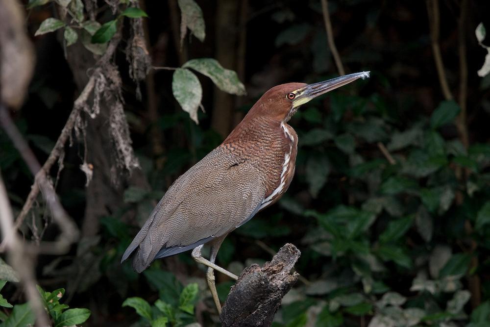 Mato Grosso, Brazil. October 2nd  2007.  Cristalino State Park. Rufescent Tiger Heron (Trigisoma lineatum).