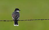 Eastern Kingbird