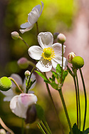 Introduced to Hawai'i, Big Island, the Japanese Anemone (Anemone hupehensis) prospers at middle elevations (~3500 ft.) on the edge of the Kilauea Iki Crater in Hawai'i Volcanoes National Park.