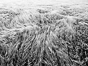 Coast to Coast XX. Barley field in the wind.