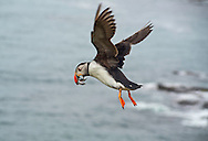 Puffin in flight with sandeels in mouth