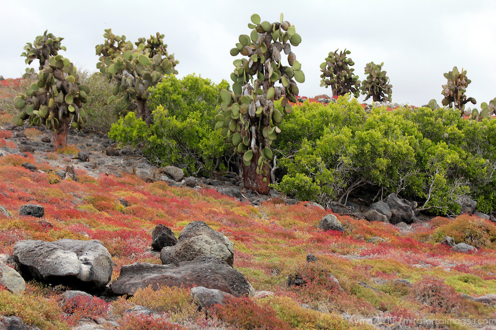 South America, Ecuador, Galapagos, South Plaza Island. Sesuvian and Prickly Pear Cactus of Plazas Island, Galapagos