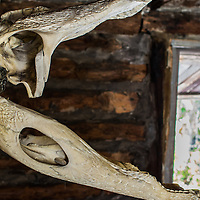 Side view of an alligator skull mounted on a wall at the Trapper Nelson Historical Site on the Loxahatchee River in Jonathan Dickinson State Park, Florida.