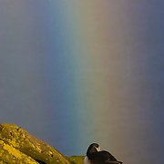 An Atlantic puffin (Fratercula arctica) checks out a rainbow from a ledge high above the Atlantic Ocean in Látrabjarg, Iceland.