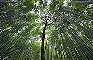 Bamboo Forest. Sagano, Japan.
