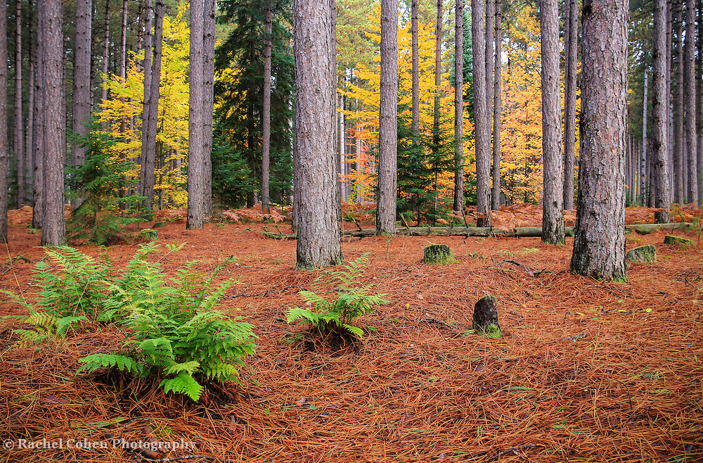 &quot;Pine Forest in Autumn&quot;<br /> <br /> Beautiful pine forest in Michigan's Upper Peninsula during autumn!!<br /> <br /> Autumn Landscapes by Rachel Cohen