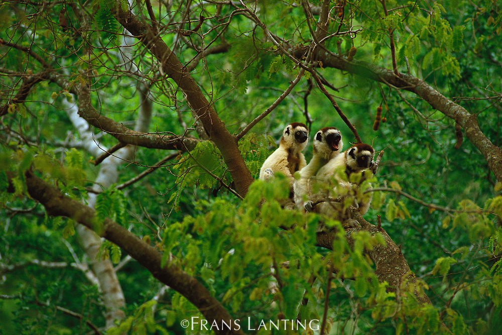 Verreaux's sifakas in trees, Propithecus verreauxi, Berenty Reserve, Madagascar