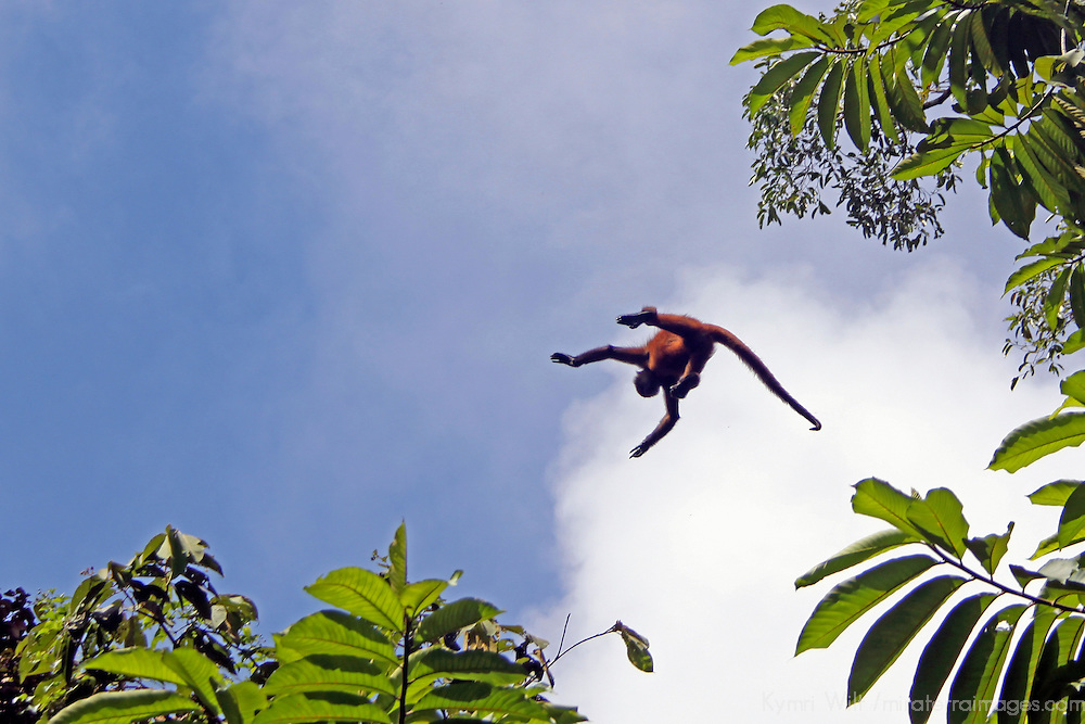 Central America,Costa Rica, Corcovado. Spider Monkey leaping from tree to tree.
