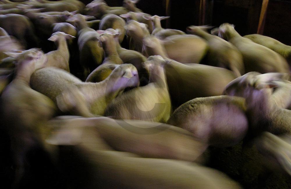 23/12/04 - ARLANC - PUY DE DOME - FRANCE - Filiere ovine race BMC au GAEC Force - Photo Jerome CHABANNE